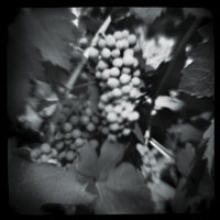 photos by steven nilsson - cluster of grapes