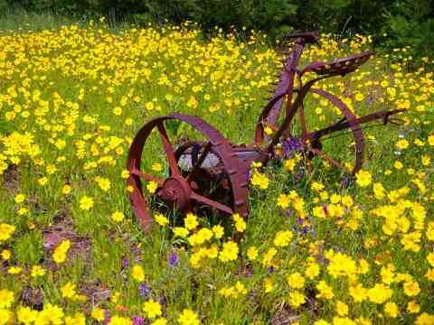 Daffodils in Bayfield