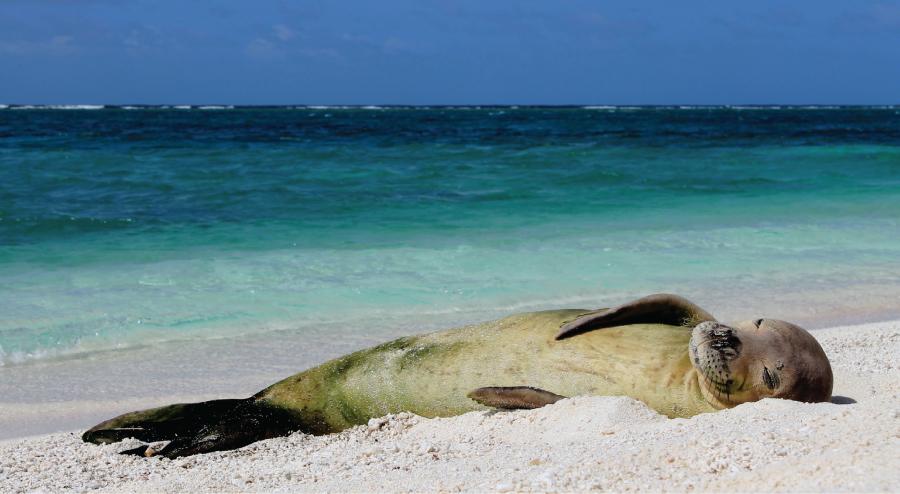 hawaiian-monk-seal-minnesota-zoo
