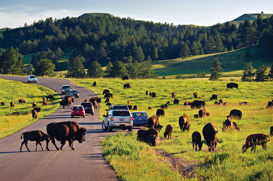 Custer State Park, Bison, South Dakota State Parks, National Parks, fall trips, travel