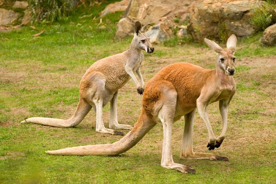 Kangeroos at Minnesota Zoo