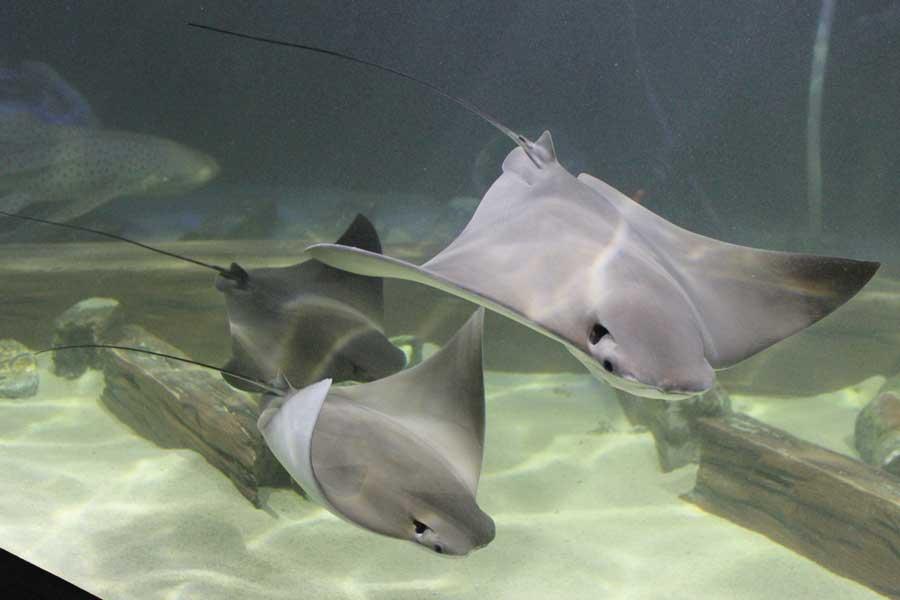 Stingrays at the Great Lakes Aquarium in Duluth, Minnesota.