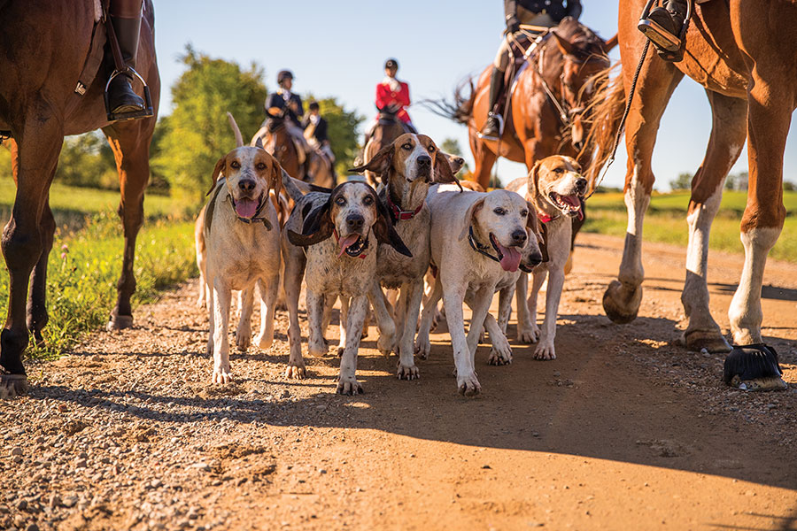 A pack of hounds surrounded by riders on horseback.