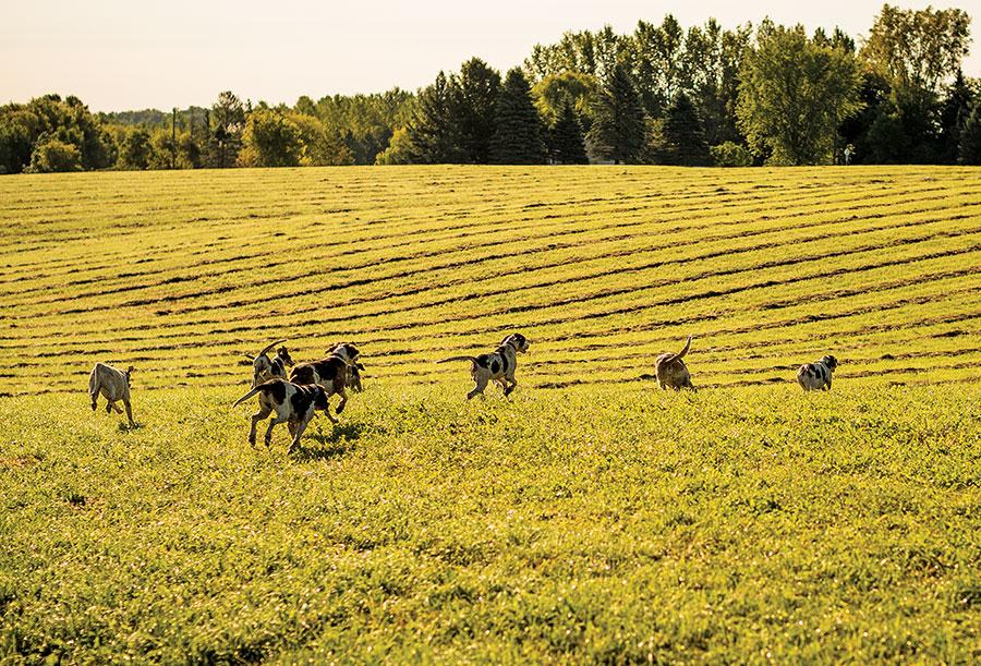 Hounds running in a field.