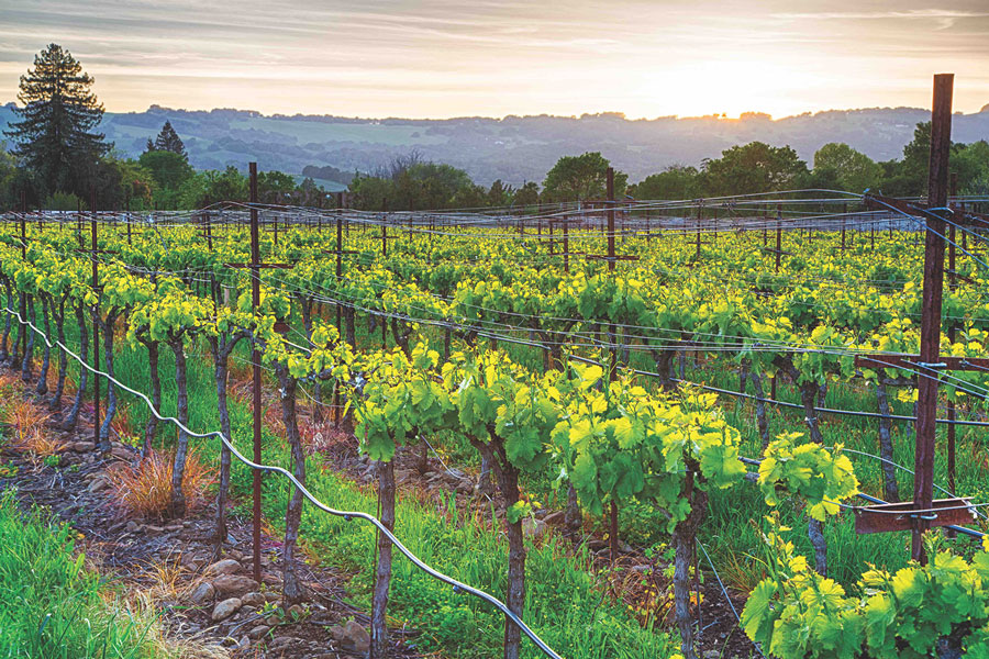 A vineyard in California at sunrise with rolling hills in the background.