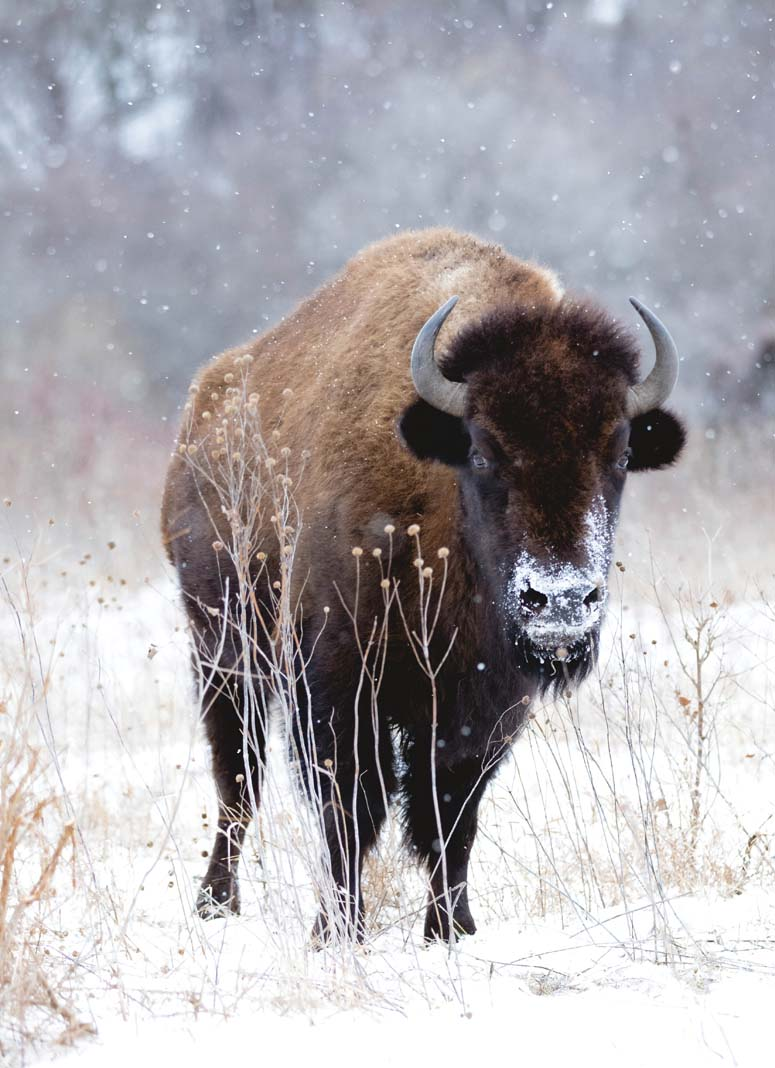 A buffalo standing in the snow at Minneopa State Park.