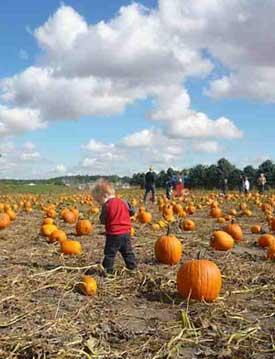 Emma Krumbee's pumpkin patch