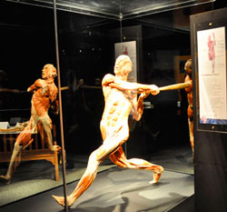 Body Worlds Is Back Minnesota Monthly