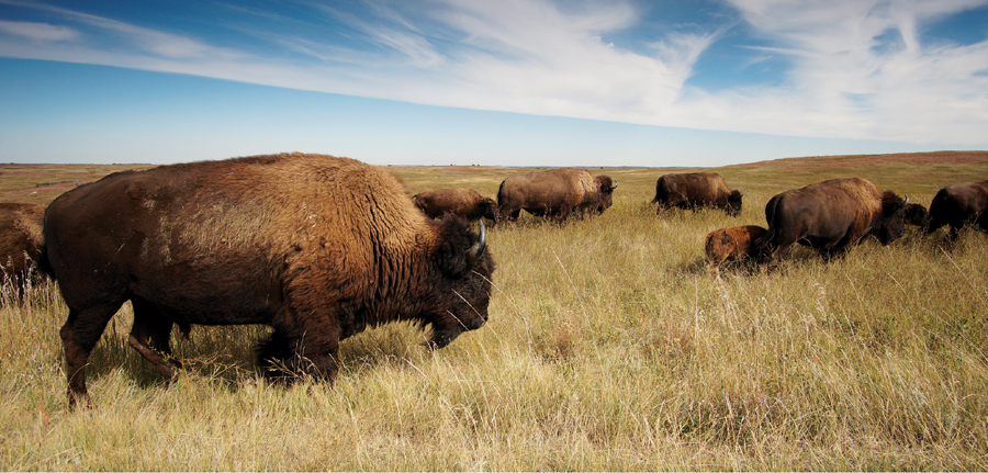 A group of bison grazing in Theodore Roosevelt National Park in North Dakota.