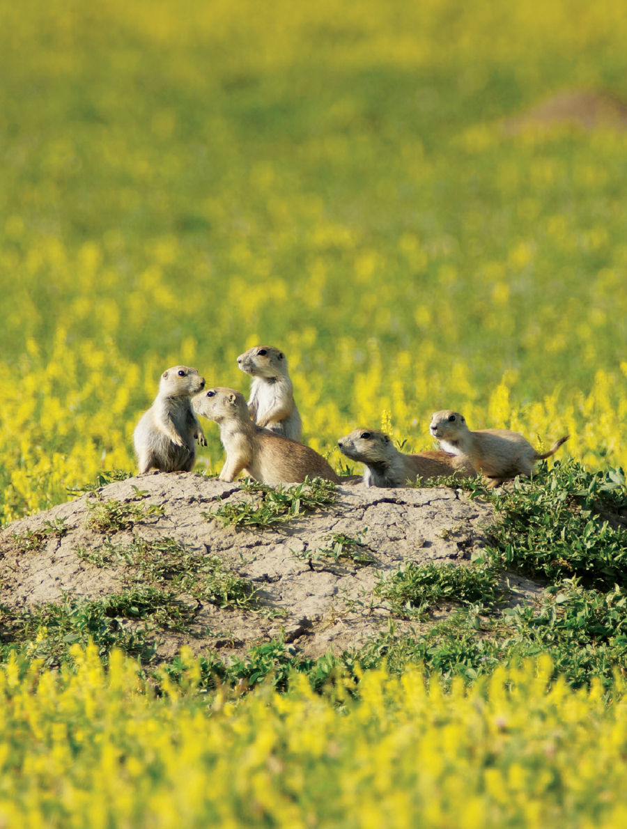 Prairie dogs gathered on a mound at Theodore Roosevelt National Park in North Dakota.