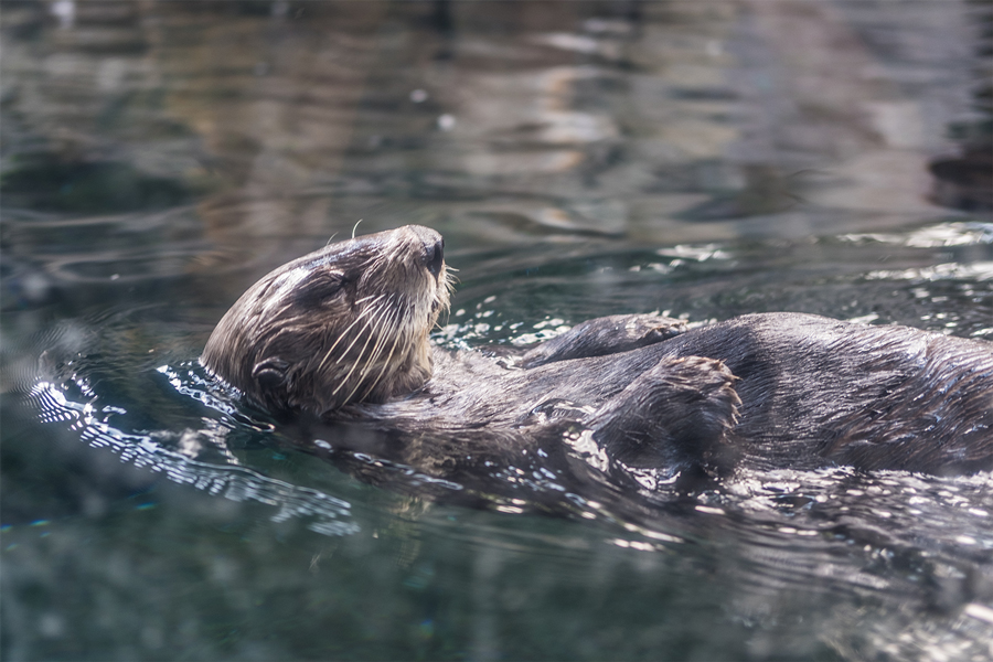 An otter swimming at the Minnesota Zoo.