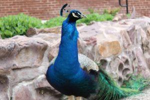 Schell's Peacock