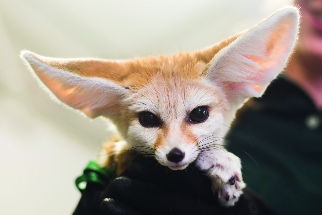 At the Minnesota Zoo, a Fennec fox