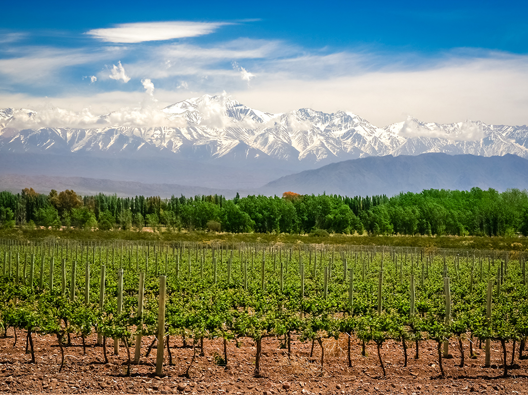 Organic vineyards near Mendoza in Argentina with Andes in the background.