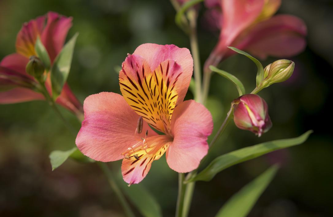 Close-up of beautiful orange peruvian lily, lily of the Incas (Alstroemeria)
