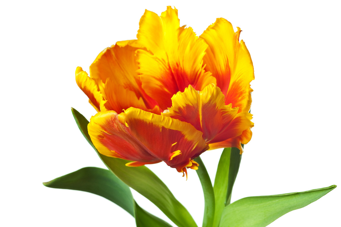 spring tulips flower isolated on white background