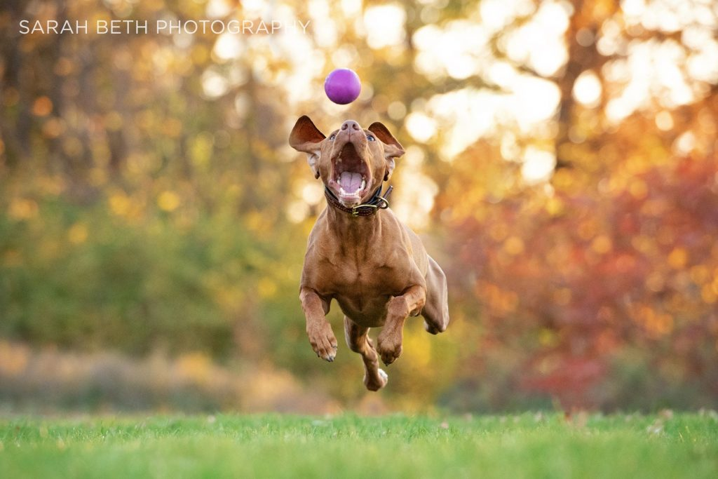 Pet photography of a dog playing outside. Sarah Beth Photography.