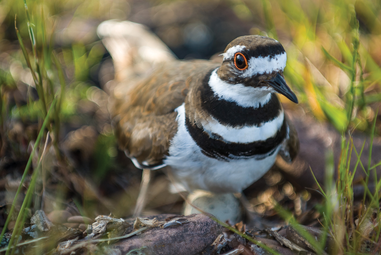 A killdeer protects her nest along the Lake Superior shore near Grand Marais