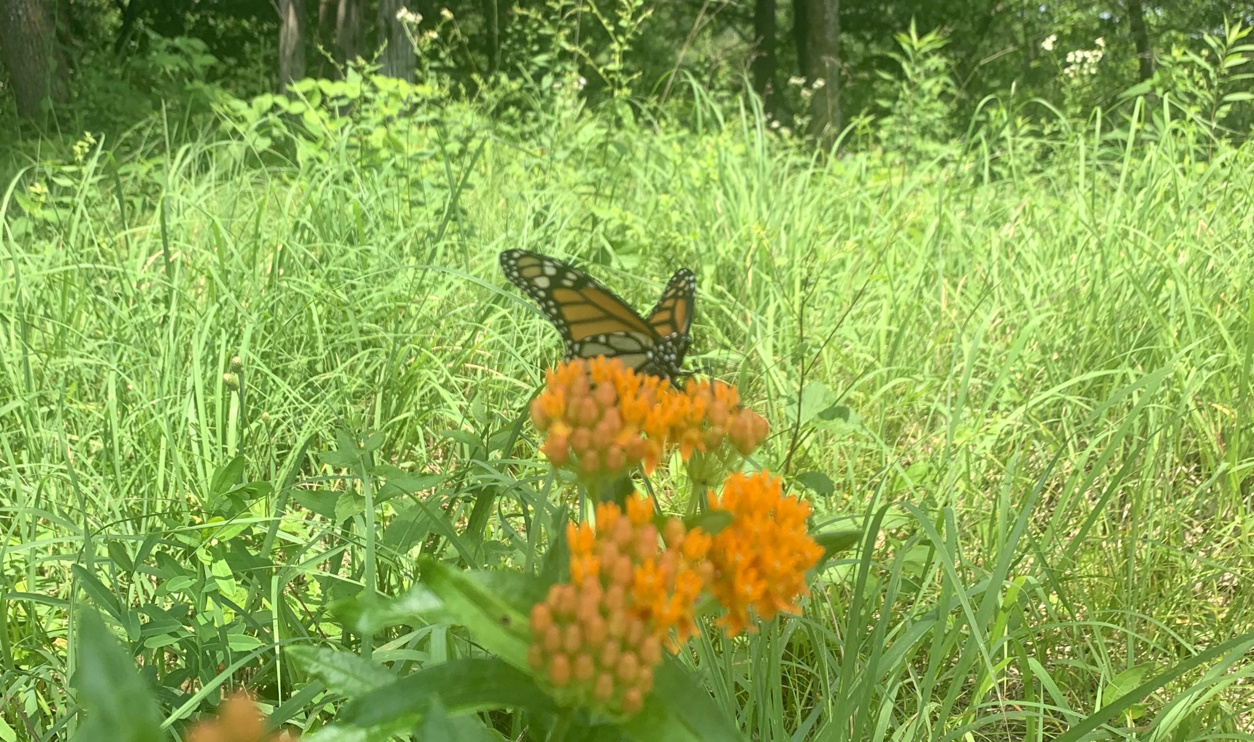 A monarch resting on butterfly milkweed just beyond Eagle Point in Whitewater State Park