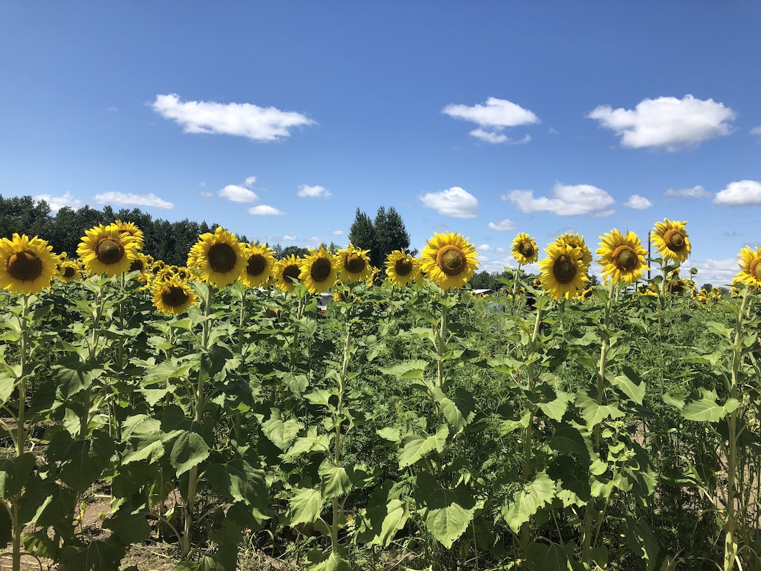 sunflower field in Monticello on a sunny day