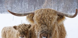 Cassia and her calf Snowball, two Scottish Highland cattle in Minnesota