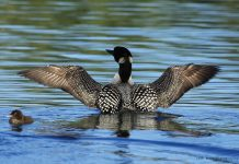 The first phase of the National Loon Center opens this year in Crosslake