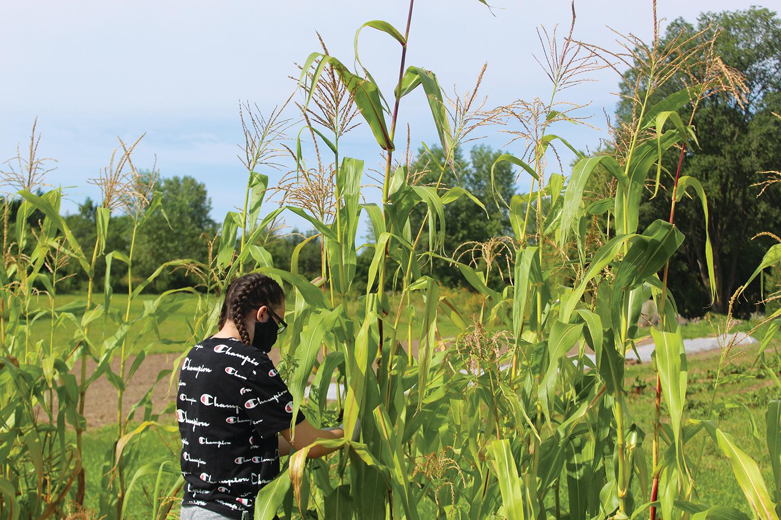 Harvesting corn at Dream of Wild Health's farm in Hugo