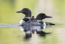 Although the common loon is not an endangered species, it may disappear from Minnesota by 2080
